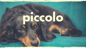 ピッコロはシニア犬専用ドッグフード【キャンペーン情報更新】